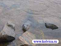 Тюлень, камешки и берег.